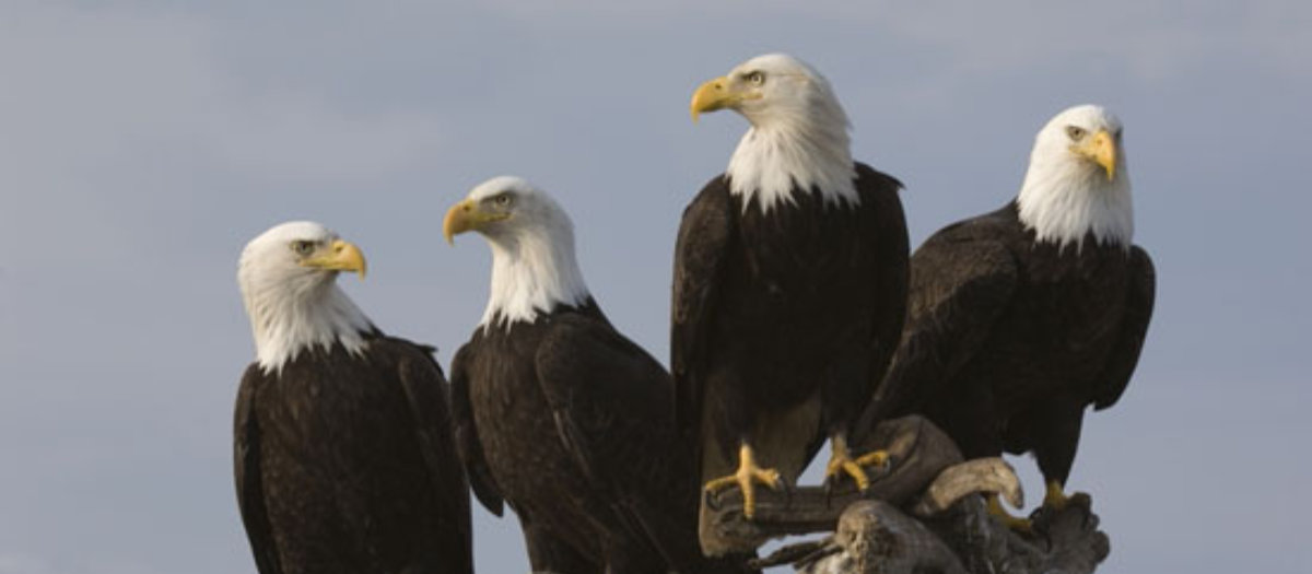 Bald Eagles can be spotted in the region where the Delaware and Hudson rivers meet.